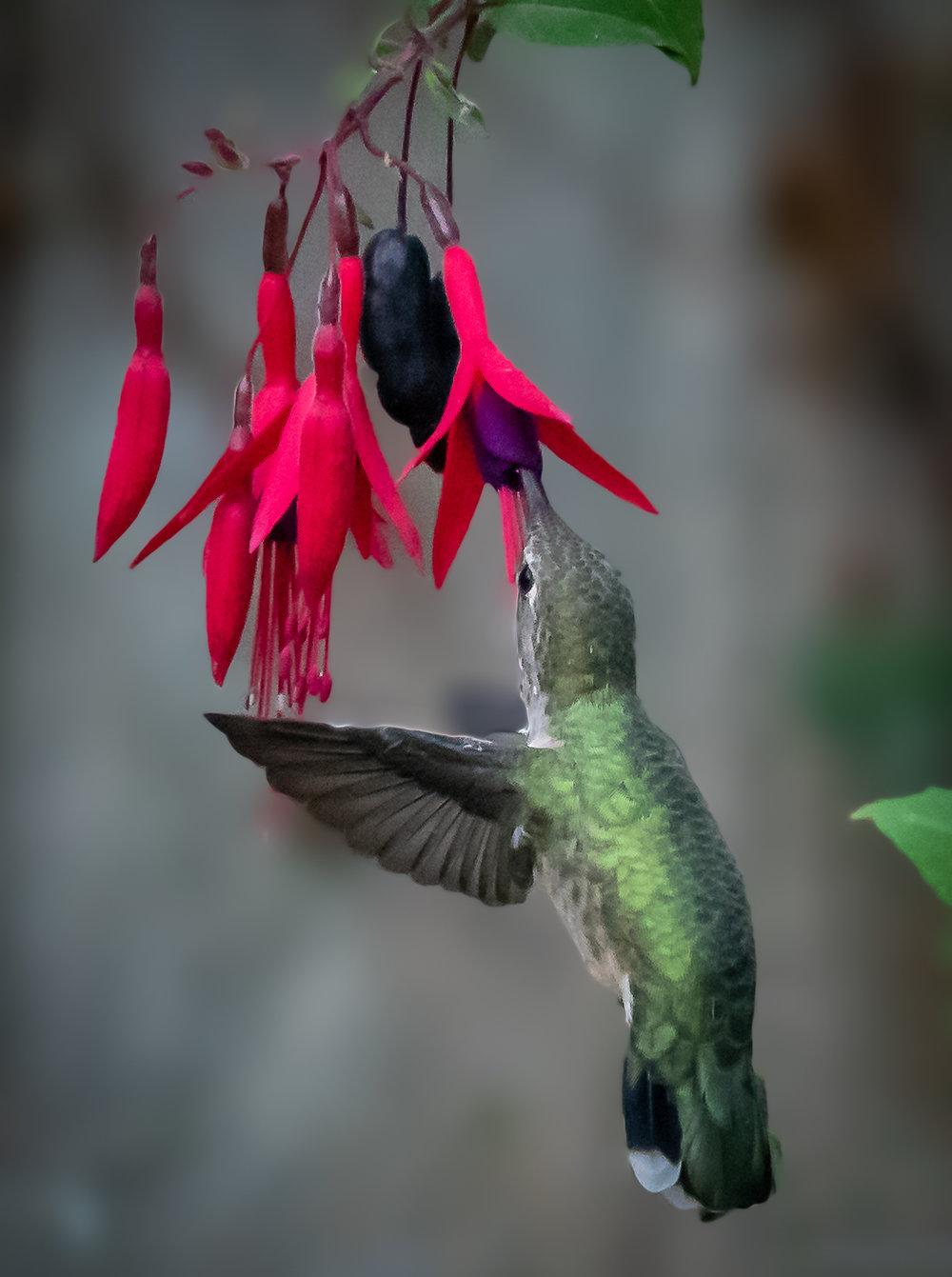 Rufous Hummingbird, Whidbey Island, 2018