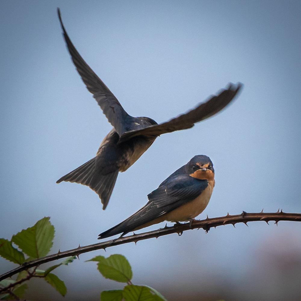 Barn swallows, Ebey's Landing, 2018