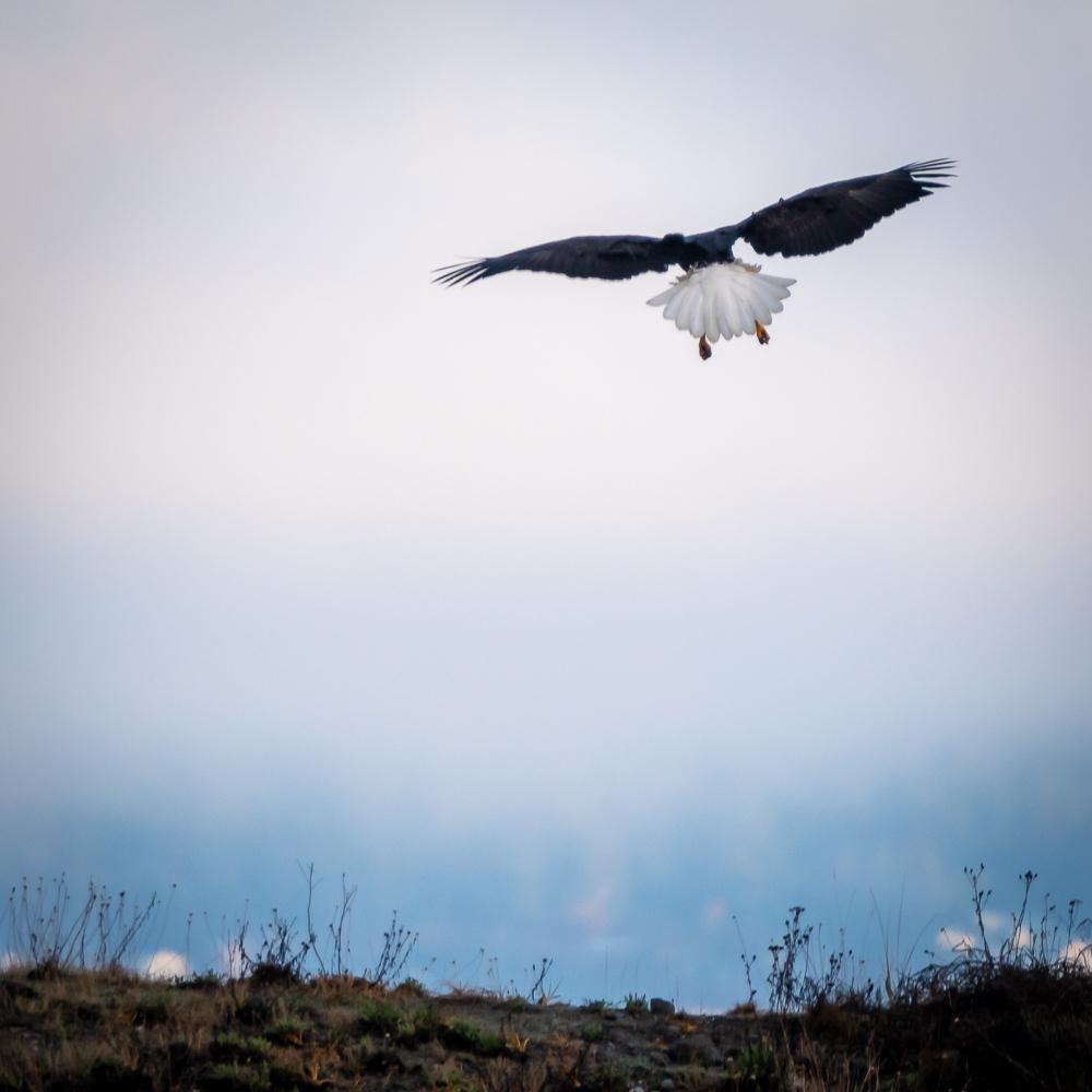 Eagle landing, Fort Flagler, 2018