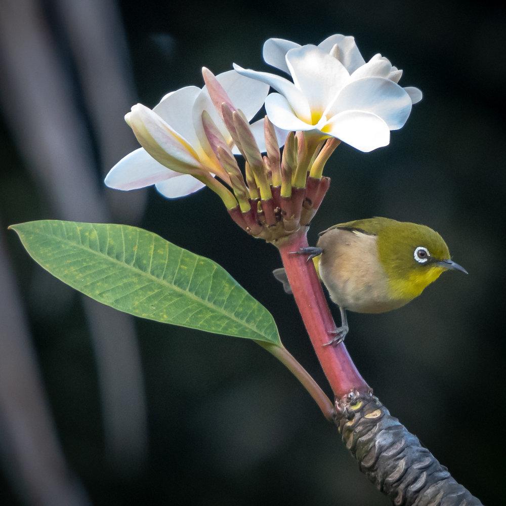 Japanese White-eye, Kauai, 2019