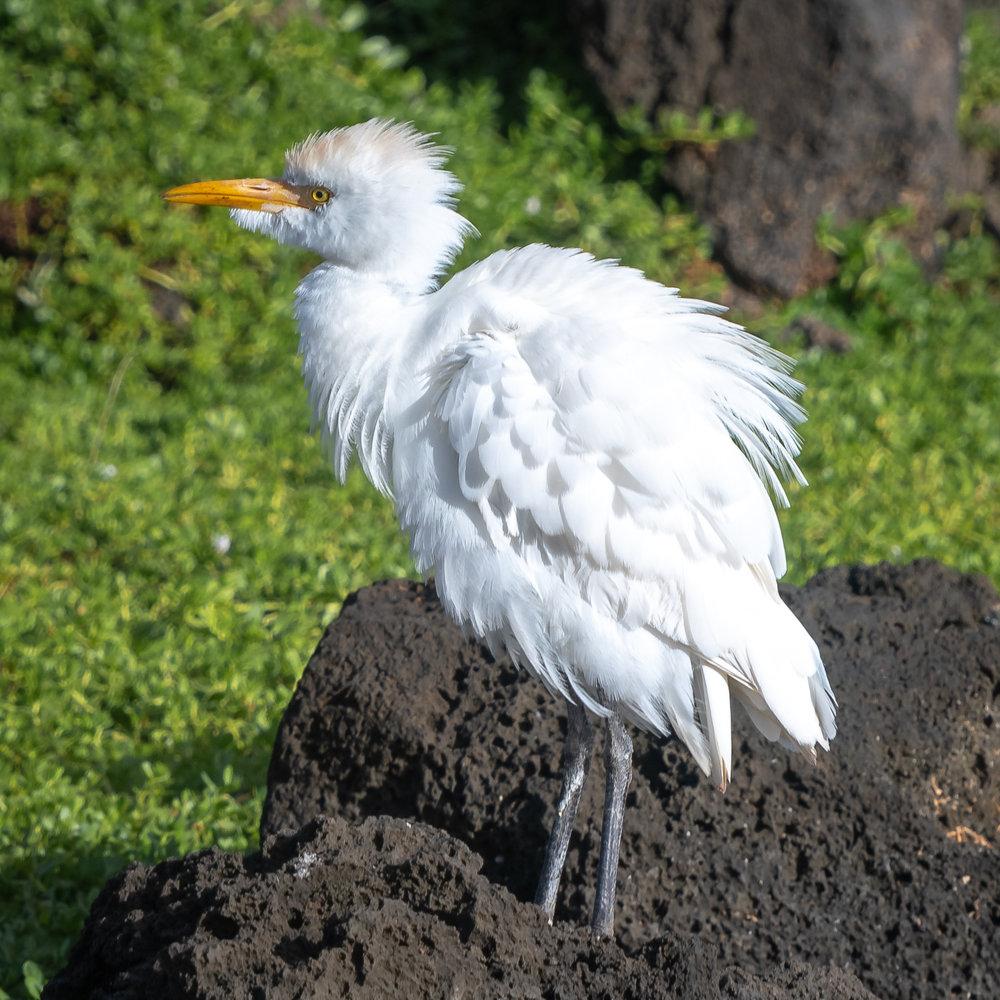 Cattle Egret, Kauai, 2019