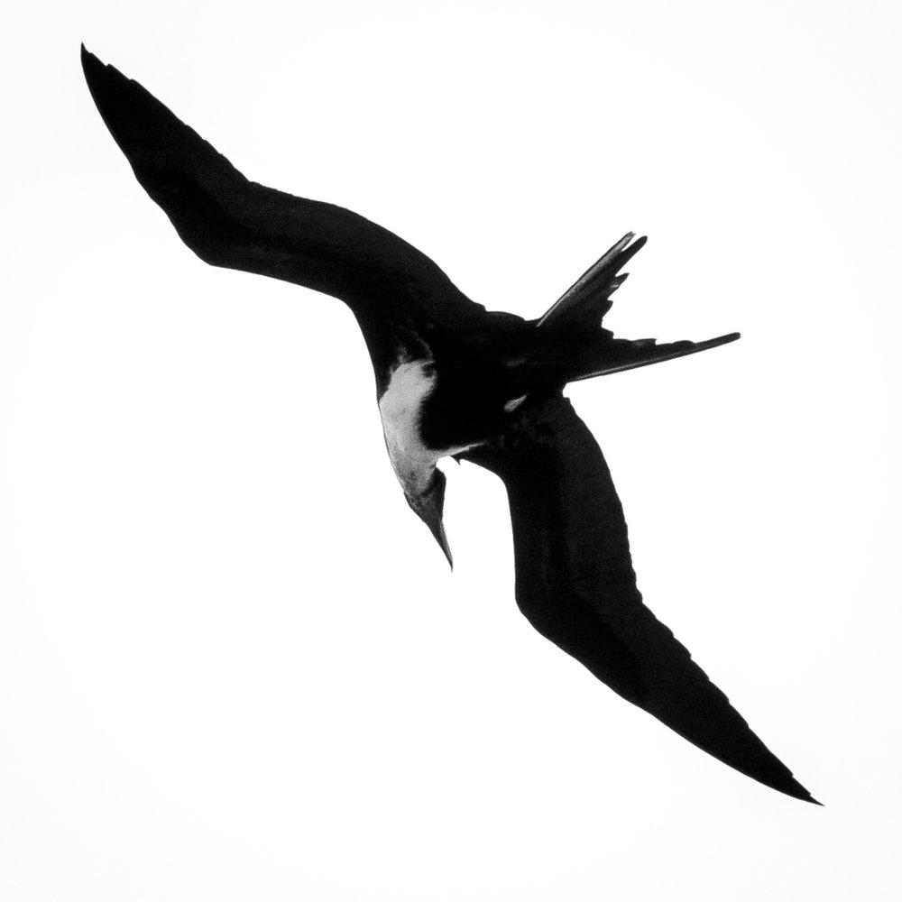 Frigate Bird, Kauai, 2019