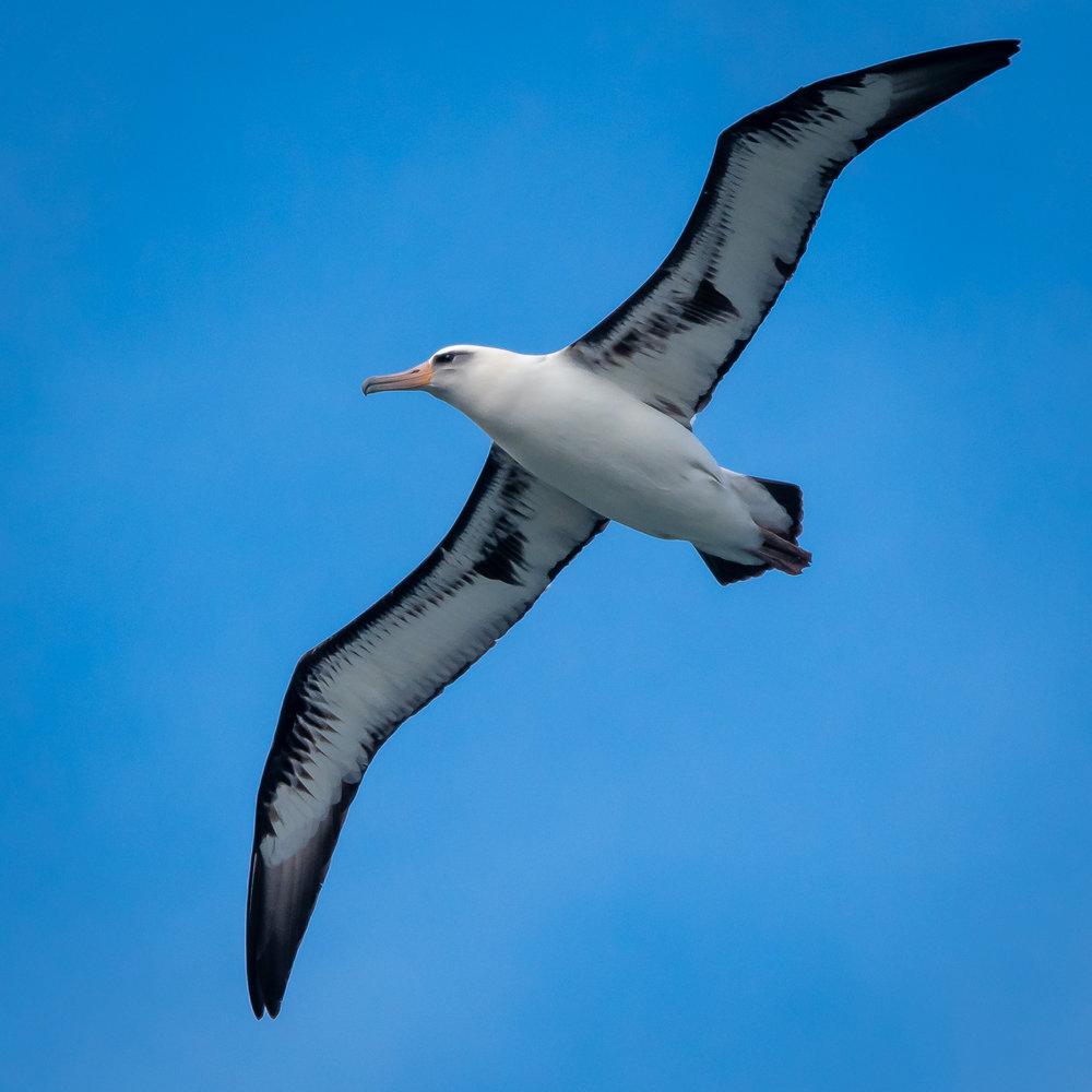 Laysan Albatross, Kauai, 2019