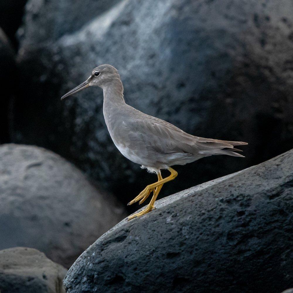 Wandering Tattler, Kauai, 2019