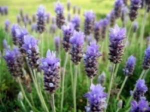 Lavender promotes relaxation and a restful night's sleep.