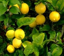 Lemon can be used to clean and freshen your home, and also has anti-anxiety properties when used aromatically.