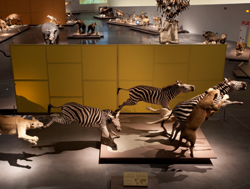 museum display of animal mounts for Robotic Decoys