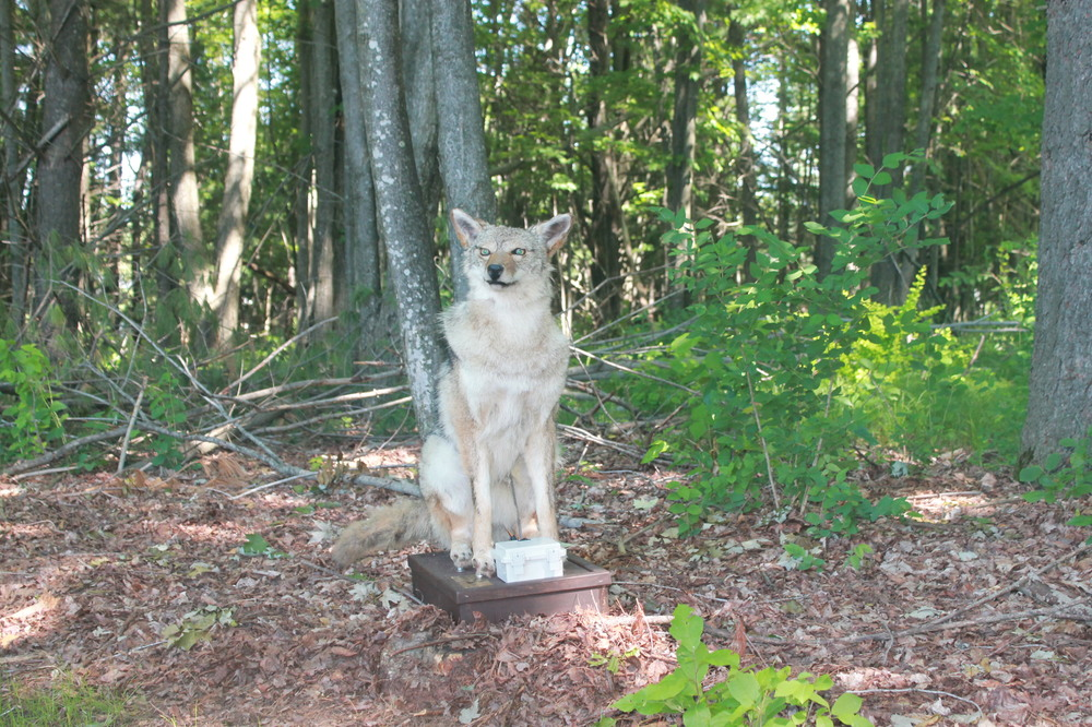 fox in woods image for coyote and fox robotic decoys mount