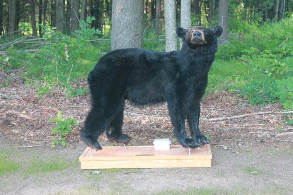 image of large bear walking through field for Robotic Decoy bear mount