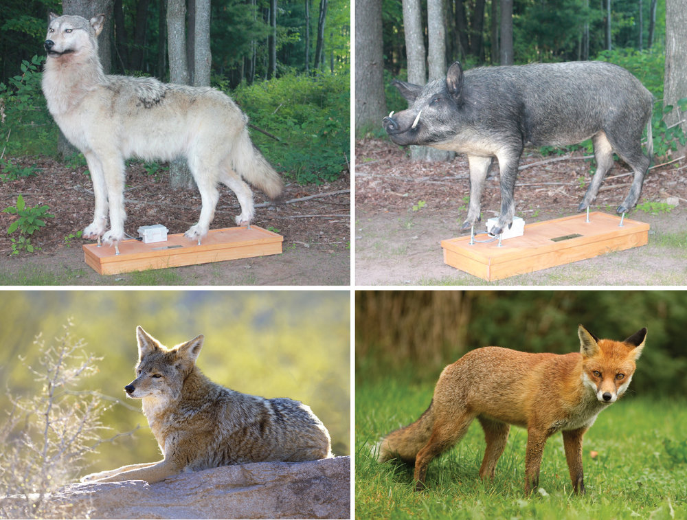 collage of wolf, fox and coyote for Robotic Decoys predator decoys
