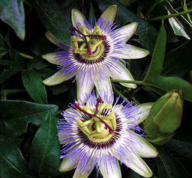 passiflora_eden.jpg