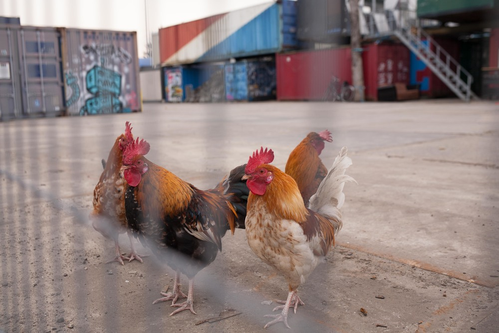 Free-range chickens hanging out among the boxcars.