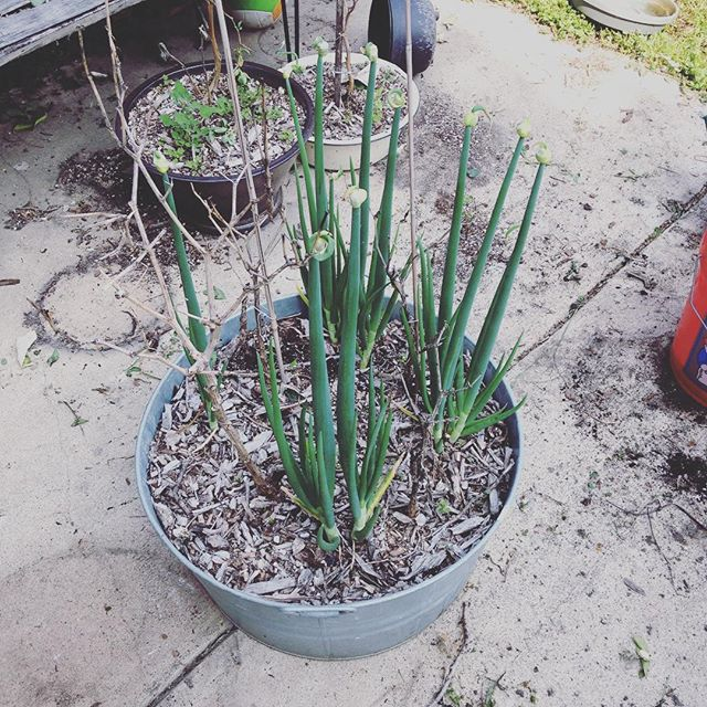 Went to (finally) clean up the containers and pots and prep them for new plants and look what I found!! We have ONIONS!! I planted them at the end of the summer and totally forgot about them.  #walkingonions #gmggarden #gardencleanup #springgardening
