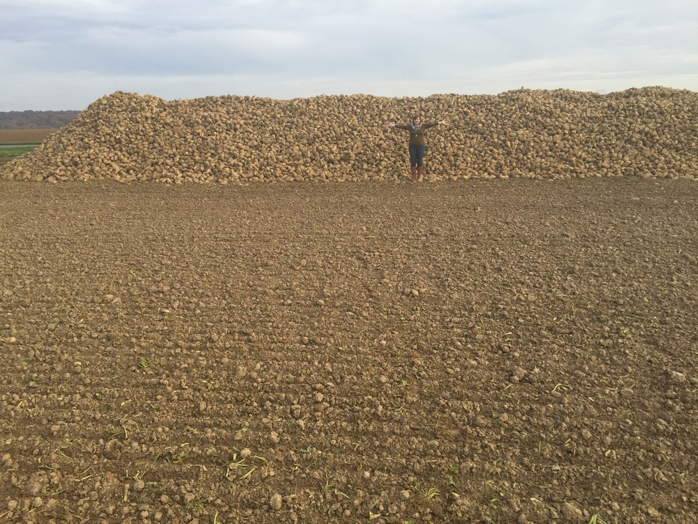 Massive Pile of Sugar Beets
