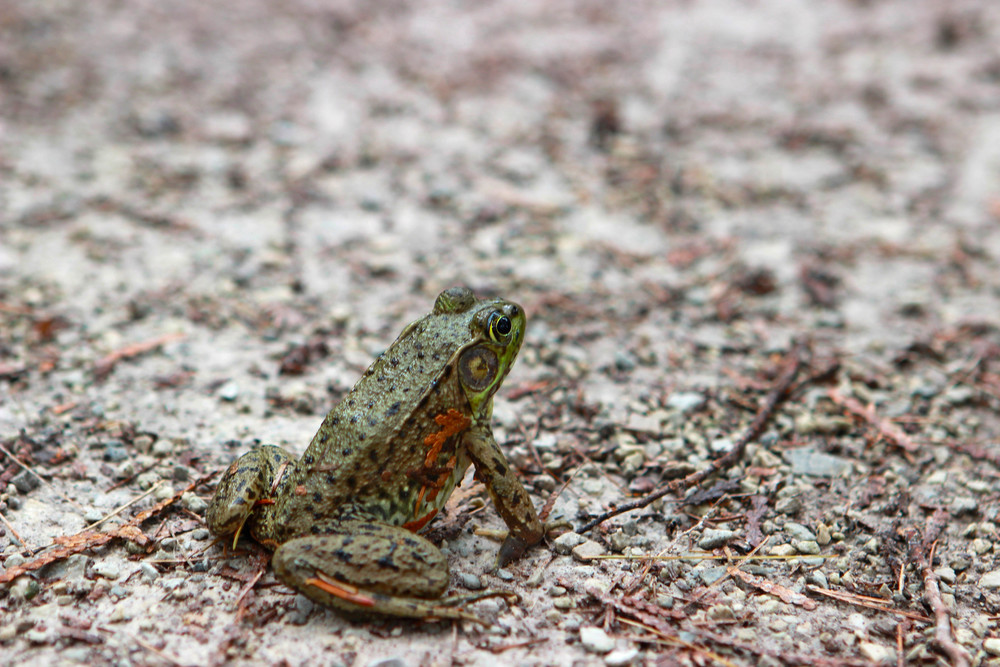 Frog | Bruce Trail | Tobermory, Canada - Jess Rudolph Photography: www.jessrudolph.com