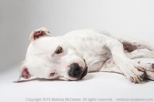 melissamcdaniel_pitbulls_beauty.jpg