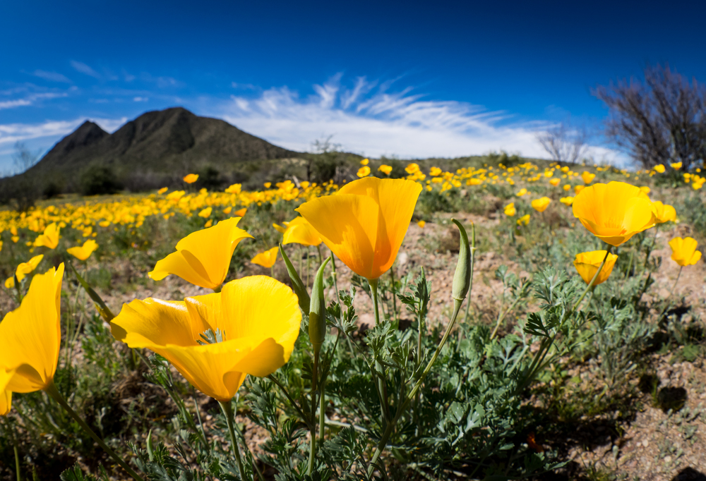 Desert Poppies taken with Olympus E-M1 M. Zuiko 8mm 1.8 Fisheye