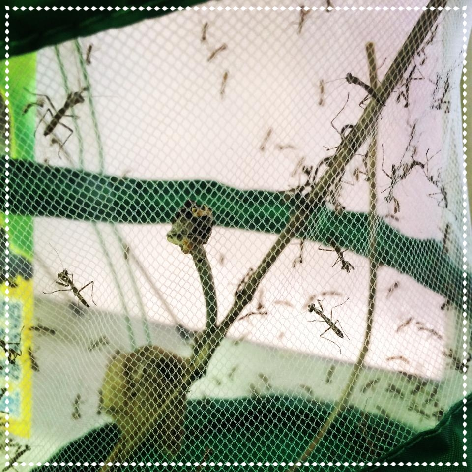 *praying mantis nymphs for our garden
