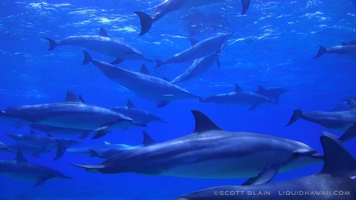 10#Best Day Dolphin Scott Blain 02©LiquidHawaii.com.jpg