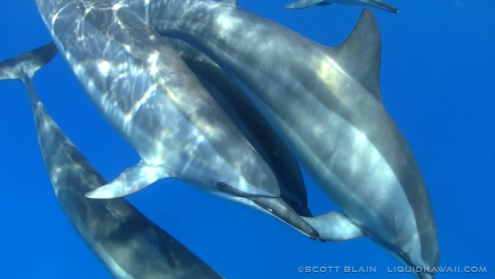 12#Best Dolphin Scott Blain 06©LiquidHawaii.com.jpg