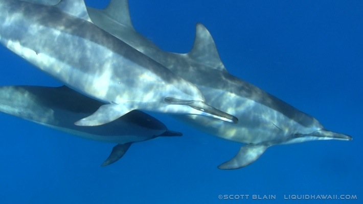 7#Best Dolphin Scott Blain 08©LiquidHawaii.com.jpg