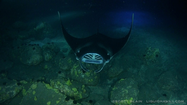 8#Best Manta in shallow new©LiquidHawaii.com copy.jpg
