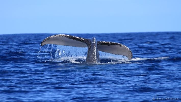 2#Whale Tail#1 ©Scott Kirchen©LiquidHawaii.com.jpg