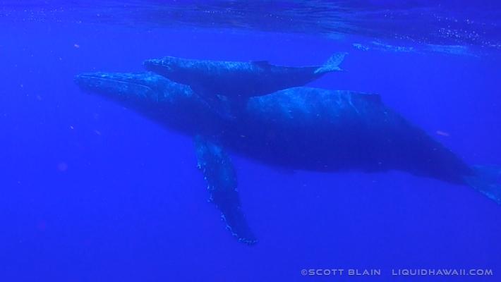5#Whale#1 Flyer crop©LiquidHawaii.com.jpg