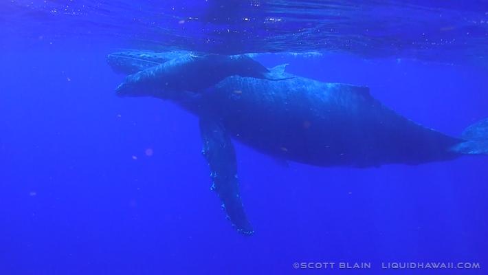 6#Whale#10©LiquidHawaii.com.jpg