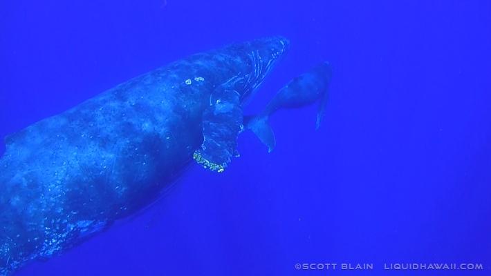 8#Whale#3©LiquidHawaii.com.jpg