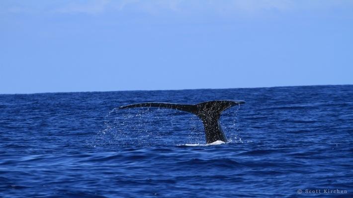 14#Whale Tail#2 ©Scott Kirchen©LiquidHawaii.com.jpg