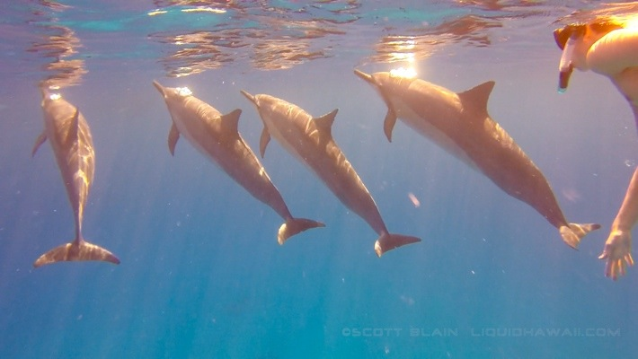 2#Dolphin & Sharks of Hawaii ©LiquidHawaii.com.jpg