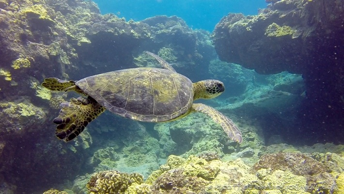 5#Honu day best©LiquidHawaii.com.jpg
