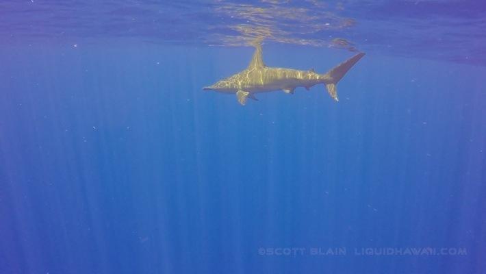 10#Hammerhead Shark 04-27-14 ©LiquidHawaii.com-8©LiquidHawaii.com.jpg