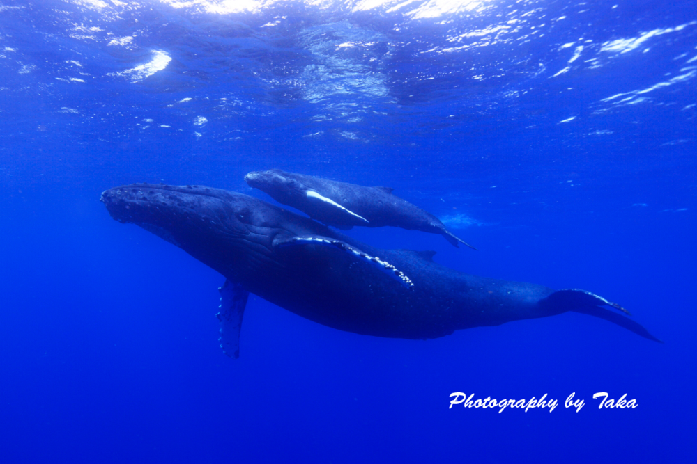 Whale Watching Hawaii--Mother and Calf