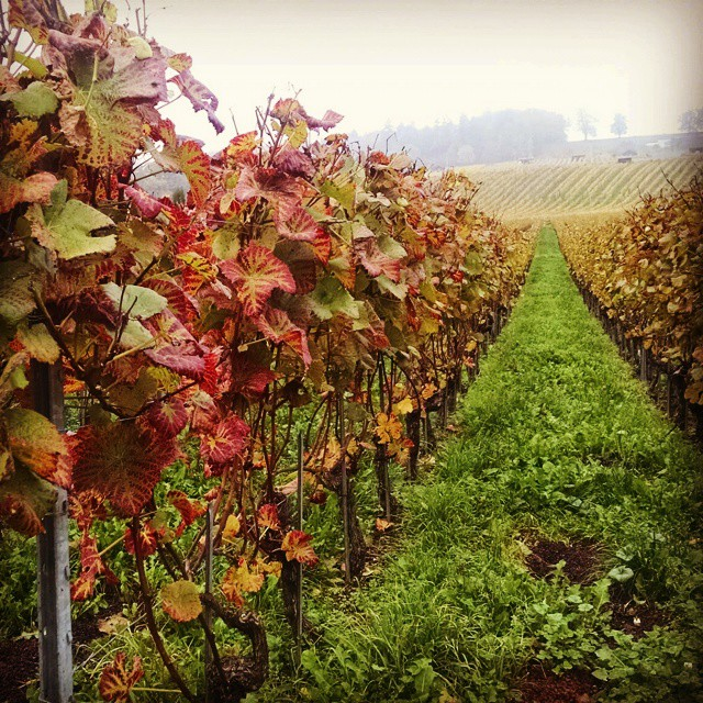 Grapevines changing colors. There's beauty everywhere… Happy Sunday! #betweenthevines #afterharvest #wine #winetravel #enotourism #instawine