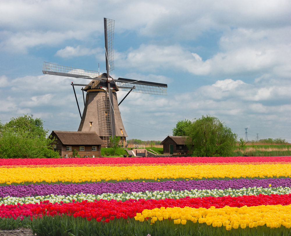 dutch_tulips.jpeg