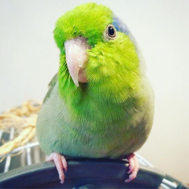 IM BACK BABY #PARROTLET #TWEET
