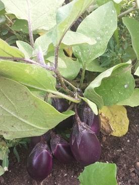 eggplant 1.jpg