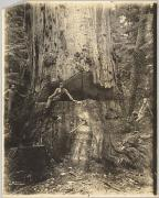 Felling Cedar Tree Thirty Miles East of Seattle, 76 feet in Circumference, Darius Kinsey, 1906