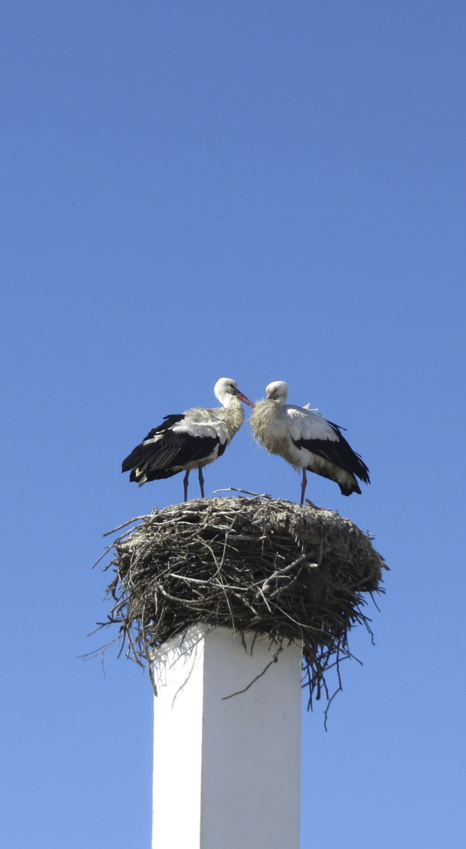 Storks in their nest