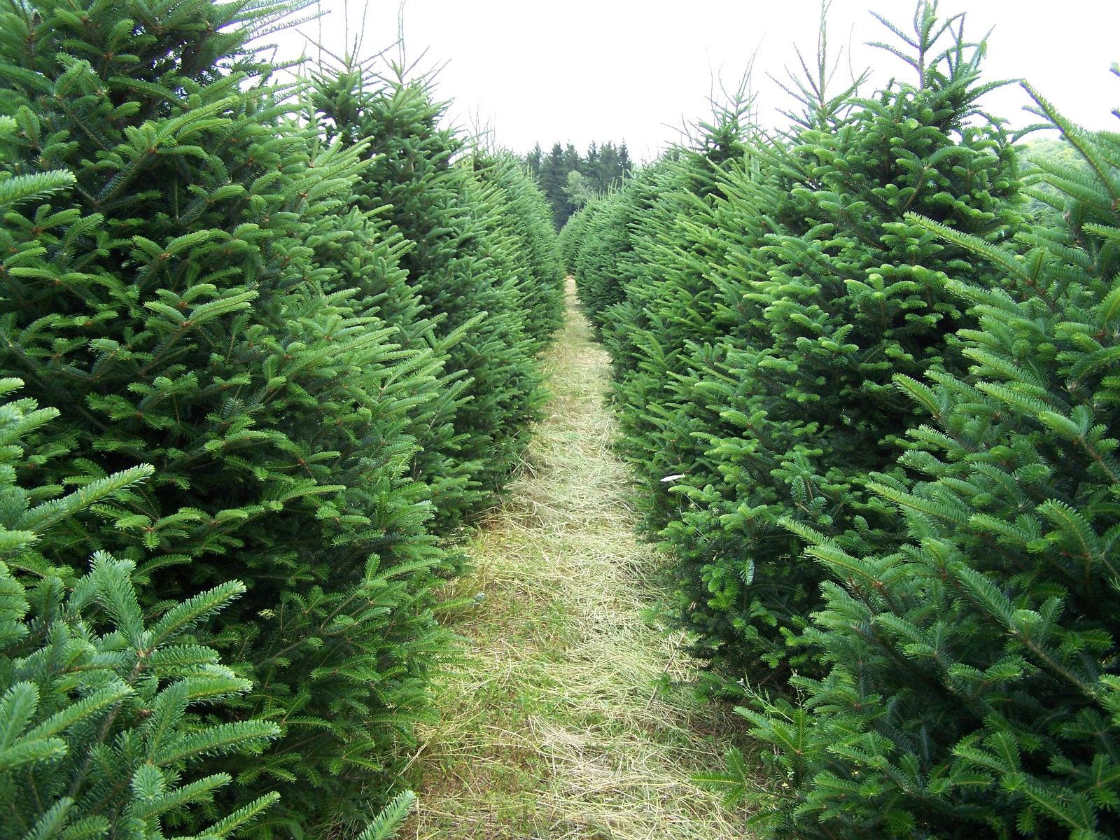 Christmas Forest.1 6 7 Foot Fraser Fir Christmas Trees Perkins Orchard