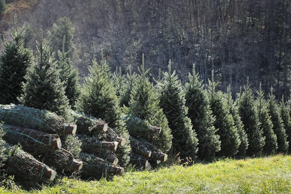 1 6 7 Foot Fraser Fir Christmas Trees Perkins Orchard