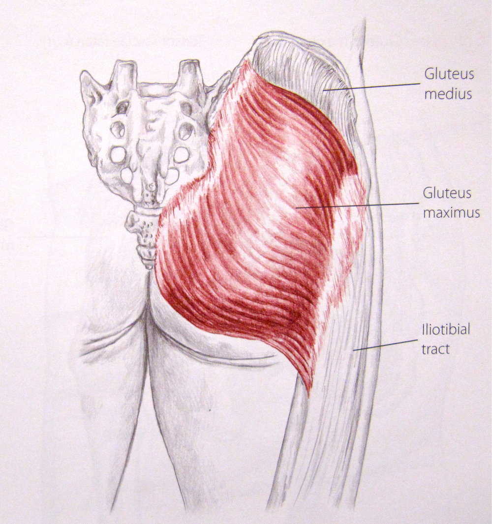 Image courtesy of  Trail Guide to the Body, 2nd ed., by Andrew Biel