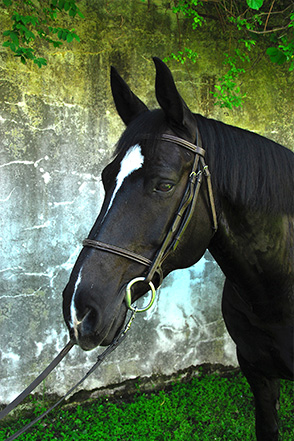 FRANKIE is a 12 year old draft cross who has spent his life doing a little bit of everything. Frankie can jump, do dressage, and is a trail riding pro. He competed a bit before coming to Endeavor, and took his owner's two young daughters for rides as well. With his sweet nature and willing attitude, it's no surprise that Frankie took to program right away. Give those giant ears of his a good scratch, and you'll have a friend for life!