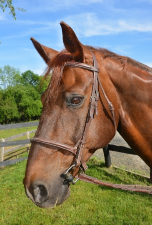 "STRYKER is a 17 year old Warmblood gelding. He showed in the Adult Amateur Hunters under the name ""My Gentleman"", and loves helping to teach riders how to canter and jump. He is quite the character and loves to snuggle with his riders (or chew on their zippers) before they get on."