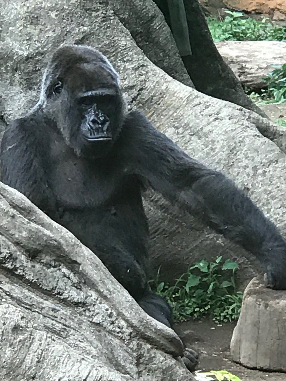 Gorilla at the Ueno Zoo