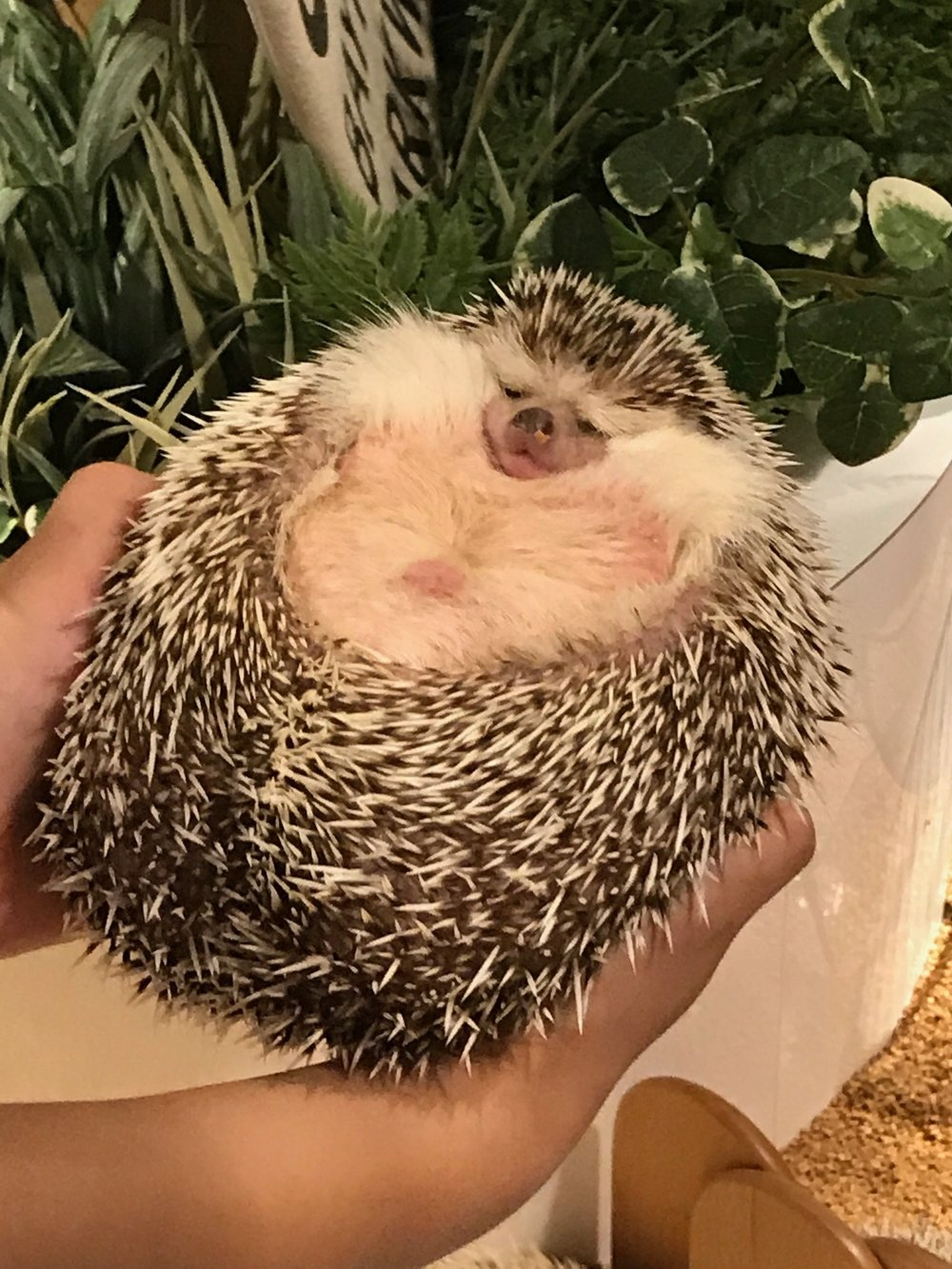 Big Hedgehog