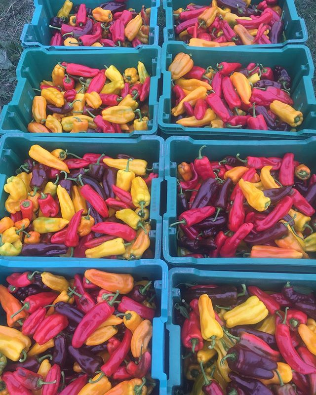 Sweet peppers! These are from our own seed we've been saving for years.