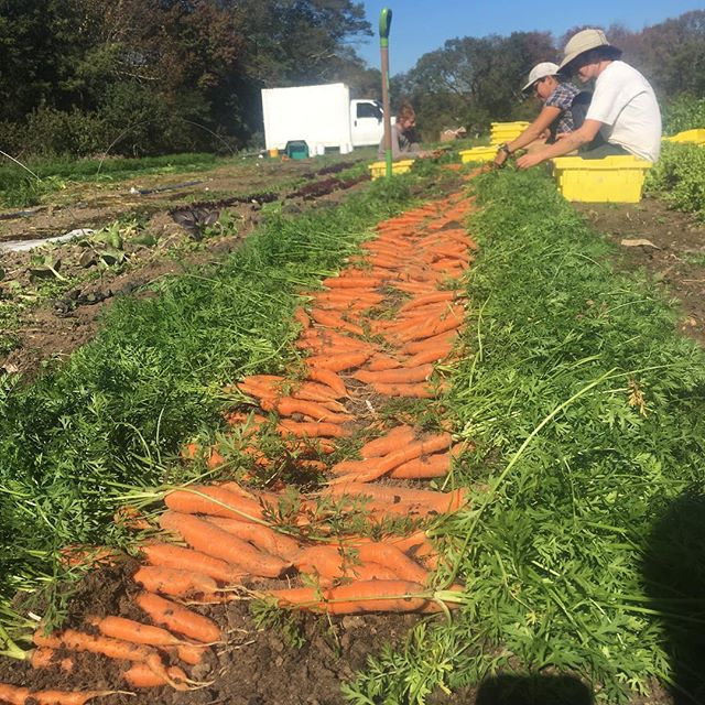 If you're in RI join us at the farm this afternoon 2-4 and help dig some carrots to donate. Also farm tour at 2!